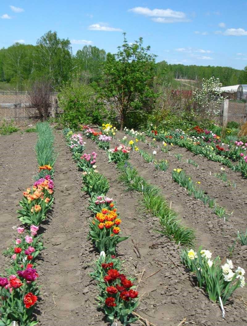 Тюльпан выращивание в саду 842
