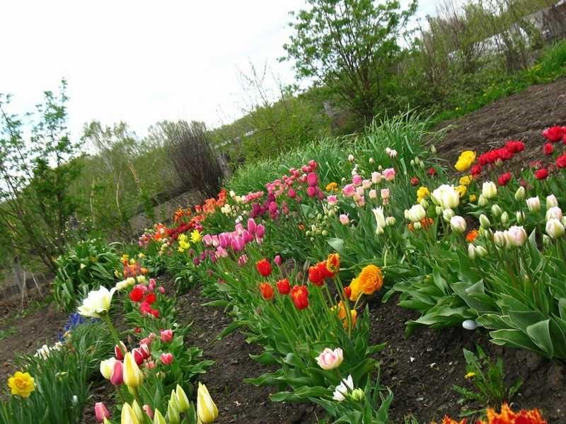 Фото с чем сажают тюльпаны 542